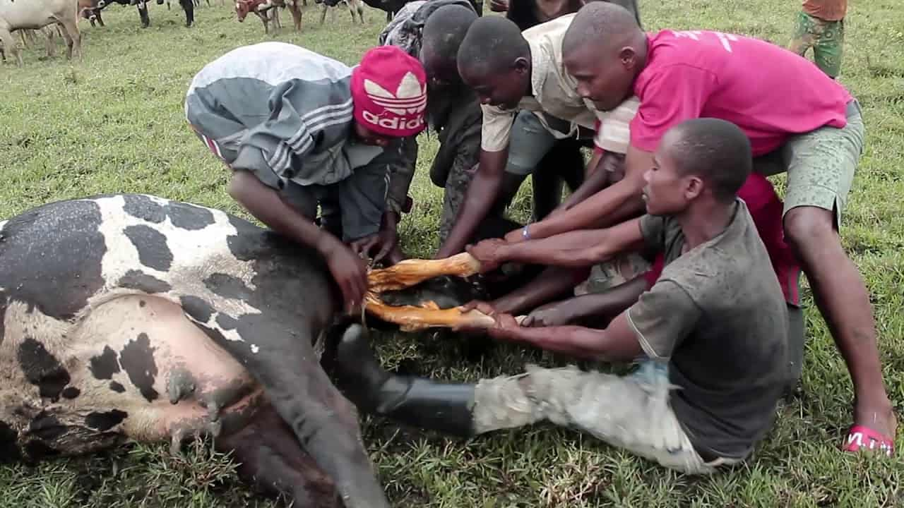 Rutshuru les joies et les peines de la maternité Animal: la mise bas chez la vache.